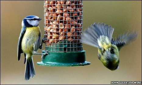 Blue tits at bird feeder