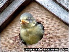Blue tit in nestbox