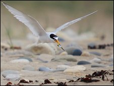 Little Tern - Pic: Harry Brenkely