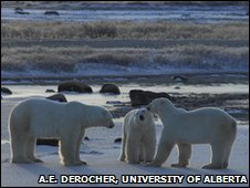 Male polar bears