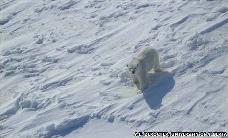 Male polar bear spotted by helicopter tracking a female (picture courtesy of A E Derocher, University of Alberta)