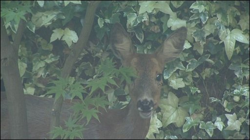 Deer in back garden in Bristol