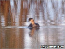 The only known photo of an Alaotra grebe