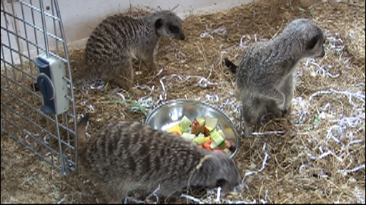 Meerkats arrive at Wildlife Park