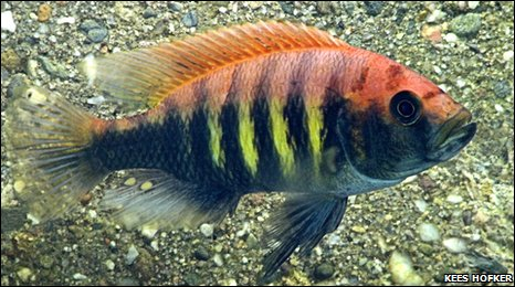 Cichlid fish