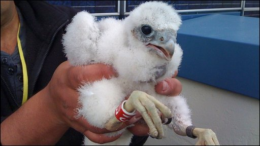 Peregrine chick ringed