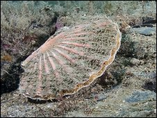 A king scallop. Courtesy of Mike Markey.