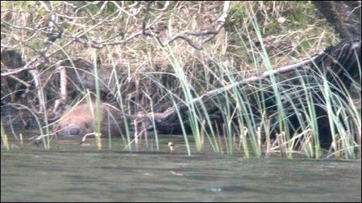 Beaver in Scotland