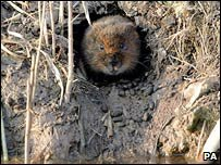 A water vole in its burrow