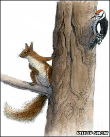 A red squirrel and woodpecker, by Philip Snow