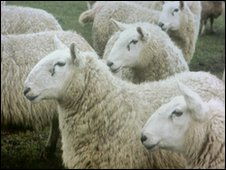 Are sheep the targets for alien invaders?