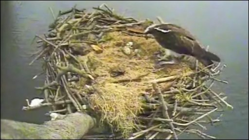 Osprey nest at Rutland Water