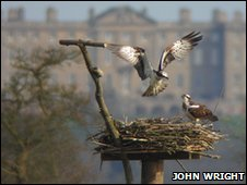 Ospreys at Rutland Water