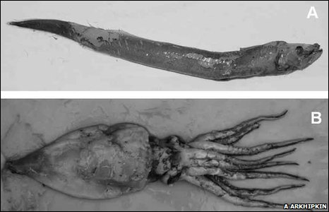 Deepwater travellers: A) deepwater slipskin and B) gonate squid