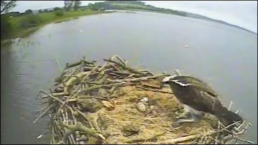 Osprey nest at Rutland Water