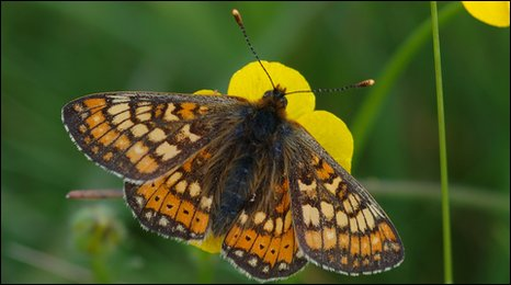A marsh fritillary butterfly on a buttercup. Copyright of Jim Asher.