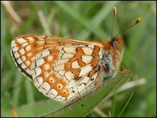 A marsh fritillary butterfly. Copyright of Jim Asher.
