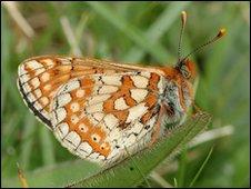 A marsh fritillary butterfly. Copyright of Jim Asher.