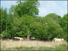 Cattle on Lydlinch Common. Copyright of Bernadette Noake.