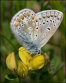Common blue butterfly on bird's foot trefoil. Courtesy of Dorset Wildlife Trust.