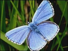 Adonis blue butterfly. Courtesy of Dorset Wildlife Trust.