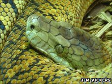Jamaican boa (copyright Tim Vickers)