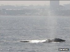 Gray whale sighted off Herzliya Marina (picture courtesy of  IMMRAC)