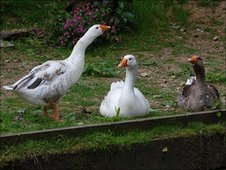 Geese at Charlie Waite's home in Gillingham