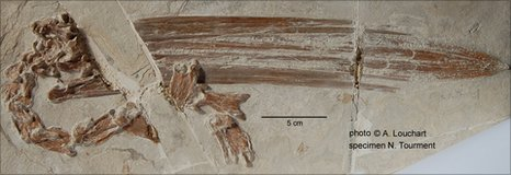 30 million year old pelican fossil
