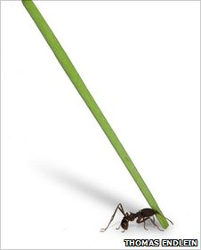 Ant lifting leaf picture