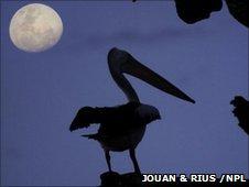 Pelican shadow (copyright Jouan & Rius /NPL)
