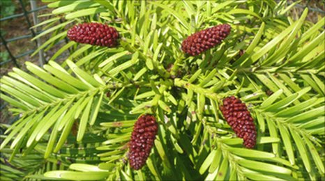 Wollemi Pine (Wollemia nobilis) flowers at Batsford Arboretum