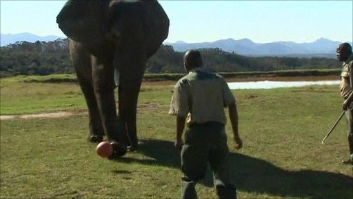 Elephants learn to play footie