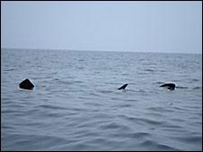 basking sharks off the coast