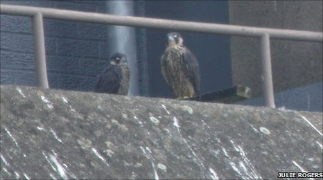 Two of the three chicks on top of Wrexham police station