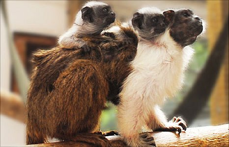 The two baby pied tamarin monkeys with their parent at Colchester Zoo