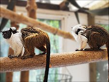 Pied tamarin monkeys at Colchester Zoo