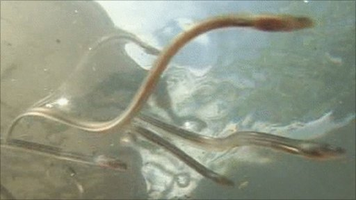 Baby eels in close up