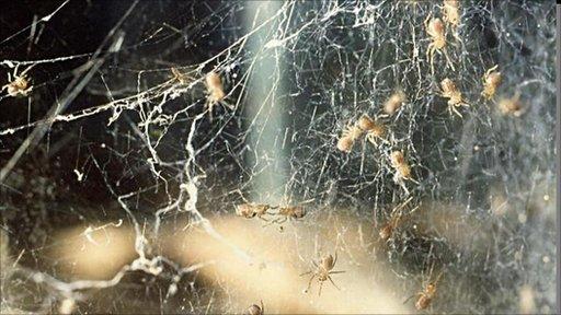 Black-lace weaver spiderlings