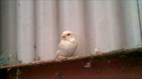 A rare sighting of an albino sparrow