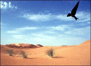 swallow over desert