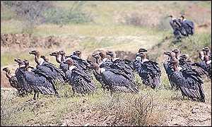 Vultures Asad Rahmani