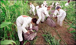 Greenpeace environmental protesters attack a field of genetically modified crops at Lyng, near Norwich, Norfolk