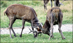 Red deer - Picture courtesy natural-history-pictures.co.uk