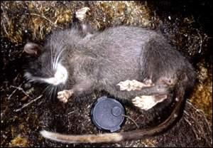 dead tree rat