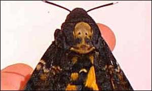 The Death Head's Moth