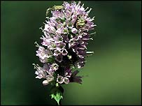 BBC NEWS | Health | Herb treatment for herpes