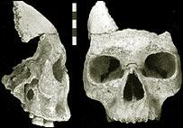Facial fossil, Journal of Human Evolution