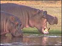 How Are Endangered Hippopotamus Being Protected in Africa?