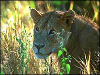 BBC NEWS | Africa | Kidnapped girl 'rescued' by lions